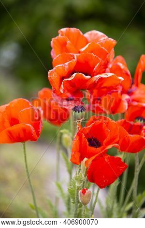 The Photo Shows Natural Poppies With Green Background