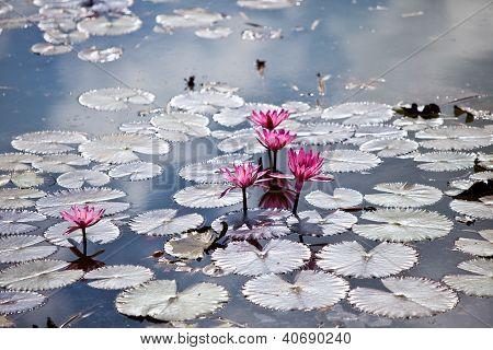 Pond Of Lotus