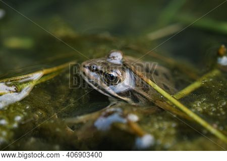 Wild Pond Frog Eye Close Up Macro View While Resting On Water, Amphibian Animals
