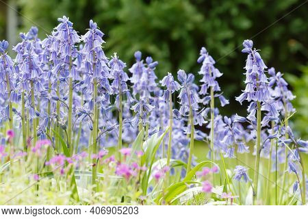 Bluebells, Spanish Bluebells (hyacinthoides Hispanica) In Flower Growing In A Spring Garden In Uk