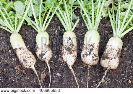 Daikon (mooli) Radish, Mooli Kumbong. Also Known As White Radishes Or Chinese Radish. Freshly Dug In