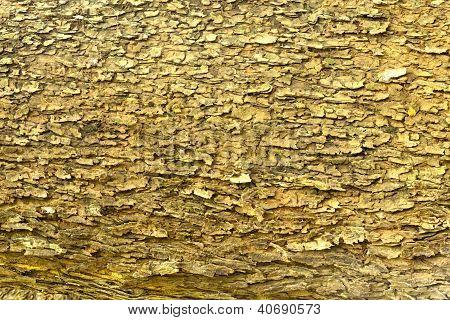 Bark Of  East Indian Walnut