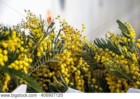 Flowers Of Acacia Dealbata, Blooming With Their Yellow Heads, On Display. Also Called Mimosa, Or Yel