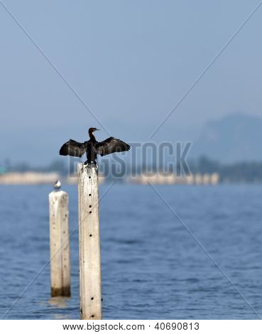 A Little Cormorant