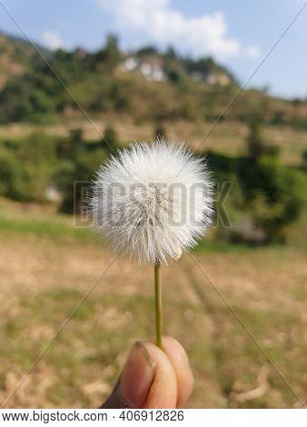Macro Shot Of Beautiful White Fluffy Flower Held In Fingers In Summer Season