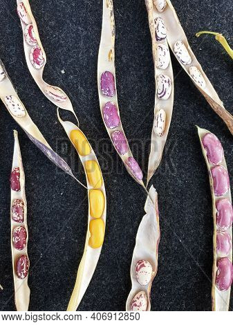 High Angle Shot Of Opened Kidney Beans Pod, Group Of Opened Colorful Kidney Beans Pod With Black Bac