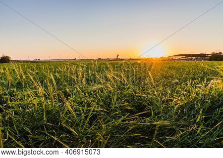 Field Of Wild Wheat At Sunset, Hdr