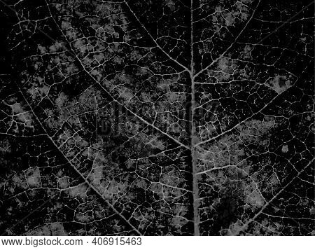 Dark Gray Plant Wallpaper. Gloomy Backdrop. Tree Leaf Structure With A Network Of Veins Close Up. Om