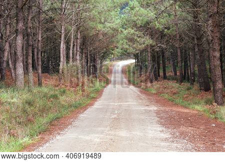 Pine Tree Forest With Forest Track. Galicia, Spain.
