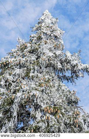 Snowy Spruce Tree, Low Tatras Mountains, Slovak Republic. Seasonal Natural Scene.