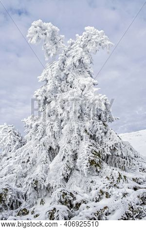 Frozen Coniferous Tree, Low Tatras Mountains, Slovak Republic. Seasonal Natural Scene.