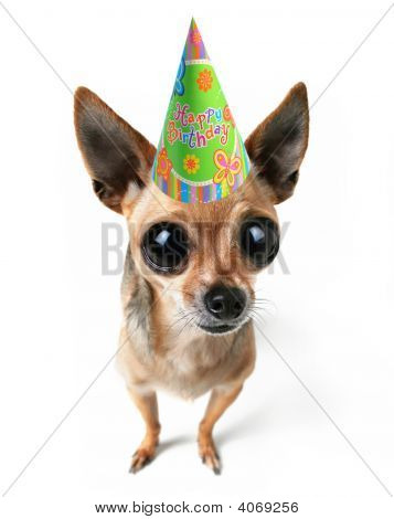 Party Chihuahua