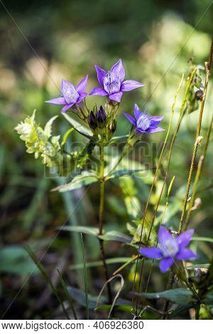 Purple Flowers, Low Tatras Mountains, Slovak Republic. Seasonal Natural Scene.