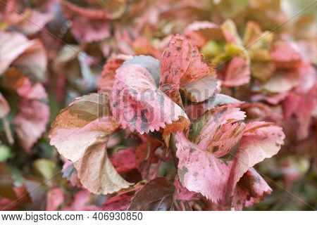 Painted Copperleaf, Copper Beef Steak, Copper Leaf Or Jacob's Coat With Sunlight In The Garden For B
