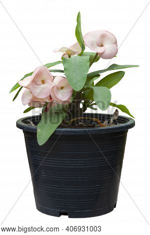 Pink Euphorbia Milli Or Crown Of Thorns Flower In Black Plastic Pot Isolated On White Background Wit