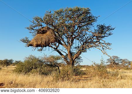 African thorn tree with large communal nest of sociable weavers (Philetairus socius), South Africa