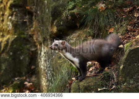 Beech Marten, Small Opportunistic Predator In Nature Habitat. Stone Marten, Martes Foina, In Typical