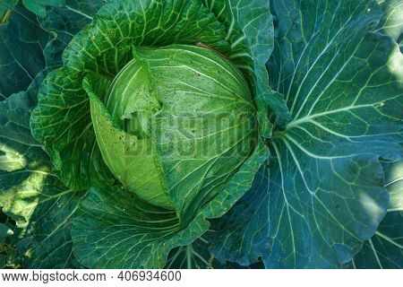 Close Up Top View Of Cabbage. Fresh Green Healthy Cabbage Vegetable Growing In The Field Used As Foo