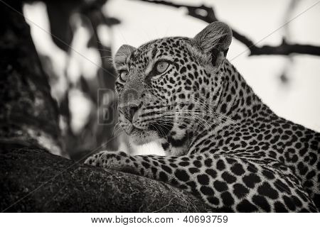 Leopard lying on branch, Maasai Mara, Kenya