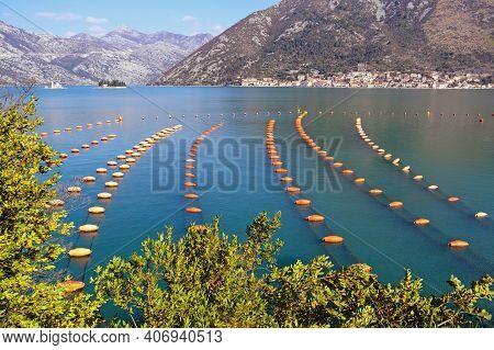 Mussel Farm.  Growing Mussels, Rope Culture.  Montenegro, Adriatic Sea, Kotor Bay