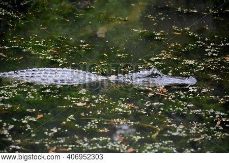 Amazing Alligator In The Southern Louisiana Bayou.