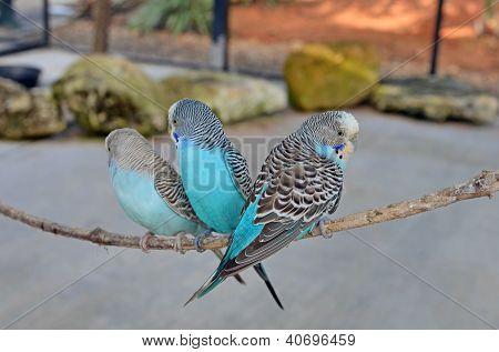 Three Blue Budgerigars