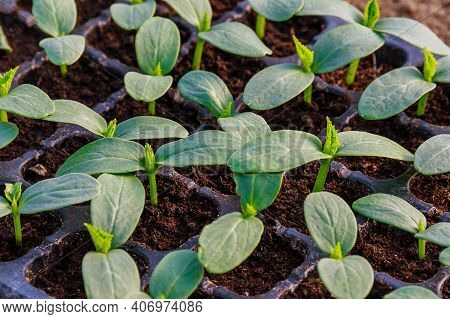 Young Fresh Cucumber Seedling Stands In Plastic Pots. Cultivation Of Cucumbers In Greenhouse. Cucumb