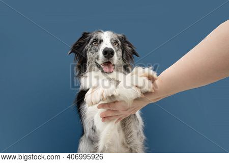 Portrait Funny High Five Border Collie Dog Trick. Obedience Concept. Isolated On Blue Background
