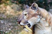 Smilodon - Saber Tooth Tiger atificial model photografed outdoor poster
