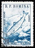 a stamp printed in the Romania shows Huchen, Danube Salmon, Hucho Hucho, Freshwater Fish, circa 1960 poster