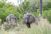 Two african elephants in the bush. The photo was taken on safari in the Okavango Delta of Botswana poster