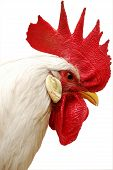white rooster with red crest. isolated on white poster