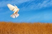 flying white dove against blue sky and dry grass poster