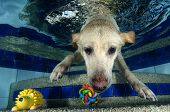 Beautiful Labrador retriever diving underwater view below poster