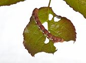 Green leaf damaged by caterpillars in summer to a garden. poster