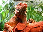Closeup Portrait Of A Iguana living at Riga zoological garden. poster