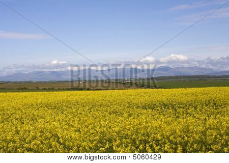 View to Snowdonia Mountain Range from an Anglesey rape field poster