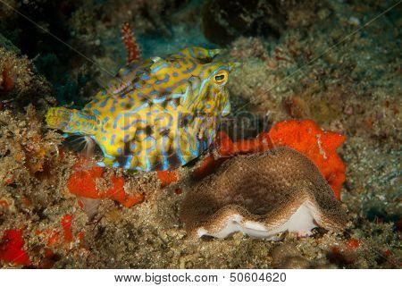 Cheeky Boxfish