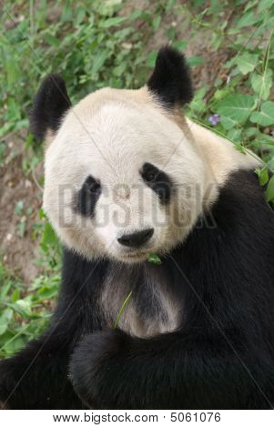 close up of a giant panda in Beijing zoo poster