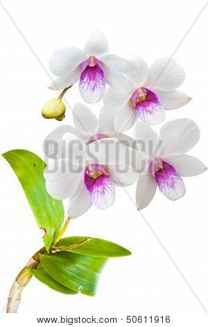 White Thai Orchids Flowers On Isolated For Background. poster