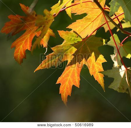 Pretty Autumn Leaves with gold