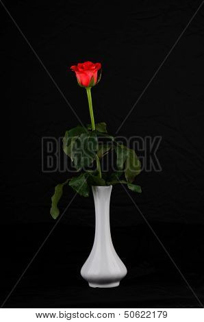 Live Rose On A Black Background In A White Vase