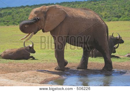 shy elephant hiding it's eye behind it's trunk, buffalo resting in the background poster