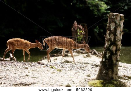 Two axis deers walking beside river at Taiping Zoo Malaysia poster