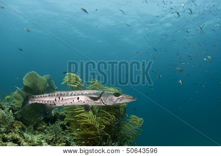 Great Barracuda on a Coral Reef