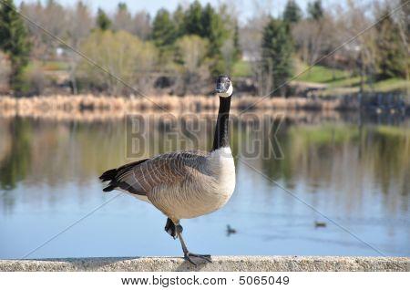 Canadian Goose Posing