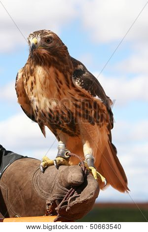 Red-tailed Buzzard.