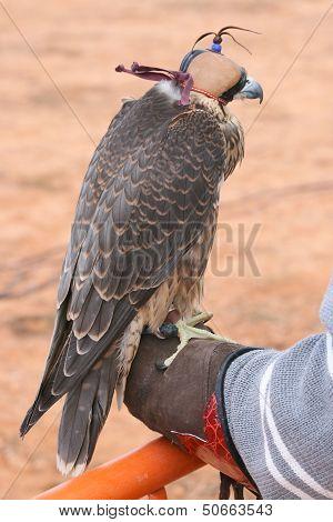 Falcon encaperuzado over fist.