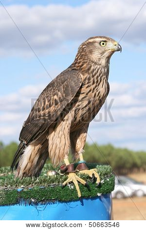 Azor young. Accipiter gentilis.