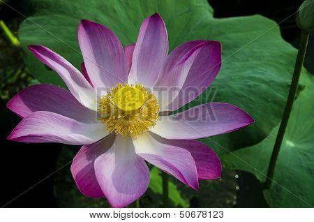 Tripped Pink Lotus in White Lake.